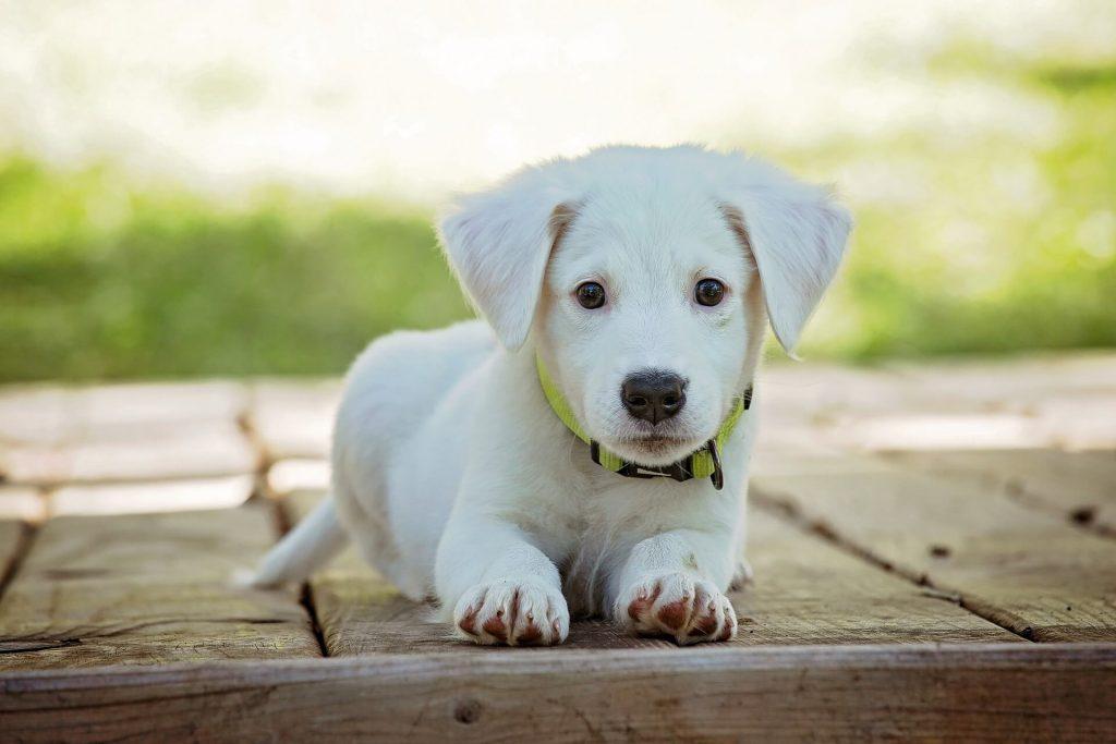 chien blanc avec un collier vert comme animal de compagnie pour gérer son stress